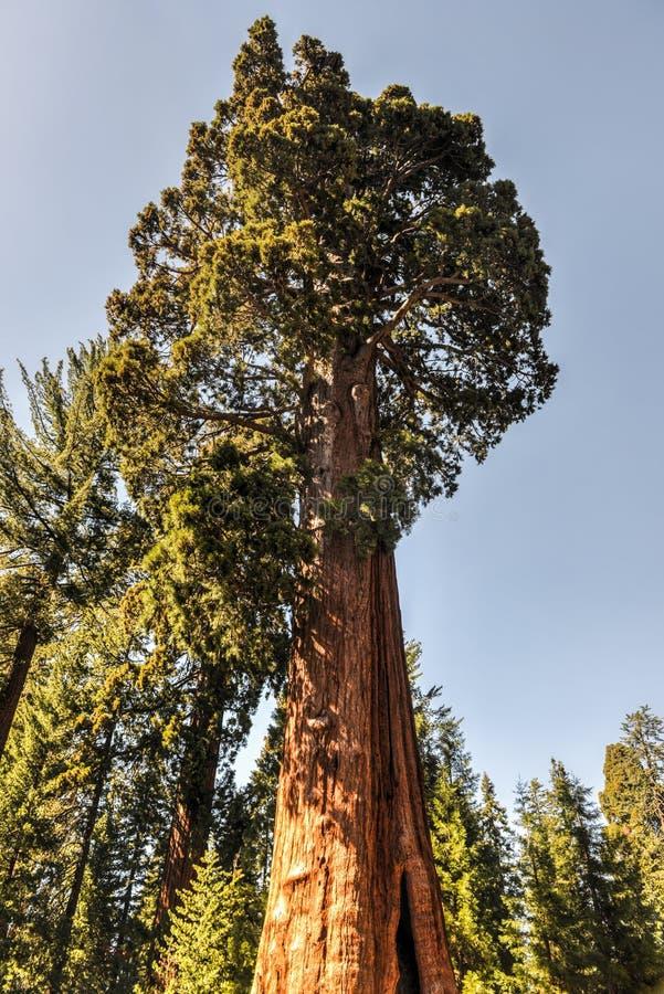 Wachposten, Mammutbaum-Nationalpark stockfotografie