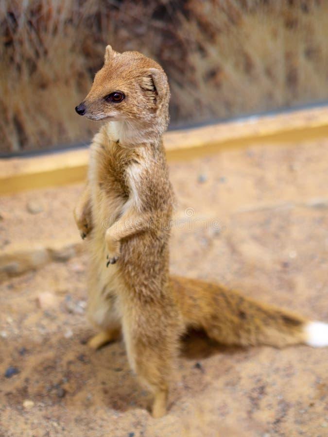Wachsame meerkats, die Schutz stehen lizenzfreie stockfotografie