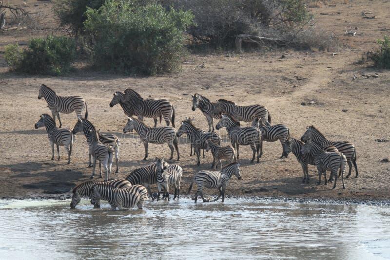 Wachsame Zebras stockfotografie