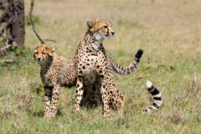 Wachsamer Gepard mit Jungem lizenzfreies stockbild