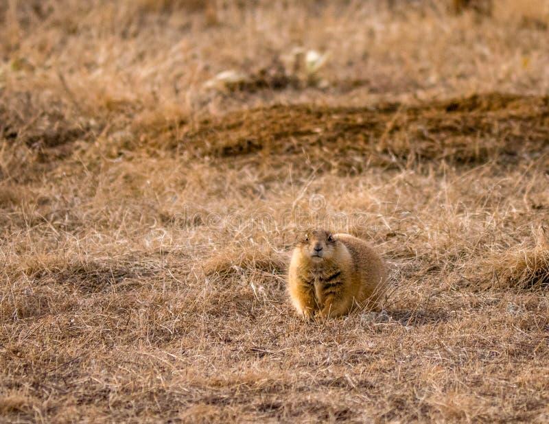 Wachsamer Prarie-Hund auf Schutz stockbilder