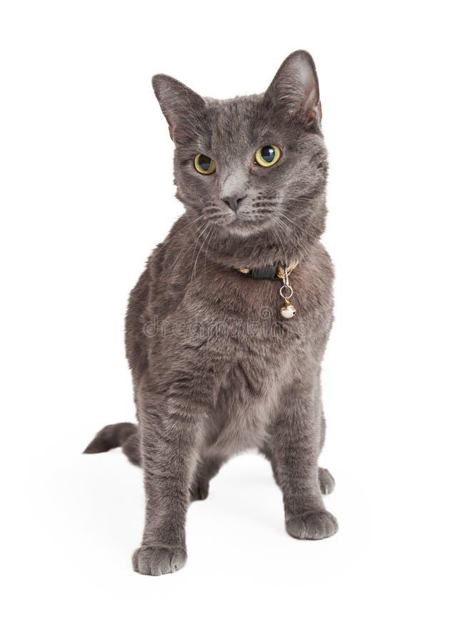 Wachsames Grey Domestic Shorthair Cat Sitting stockfotografie