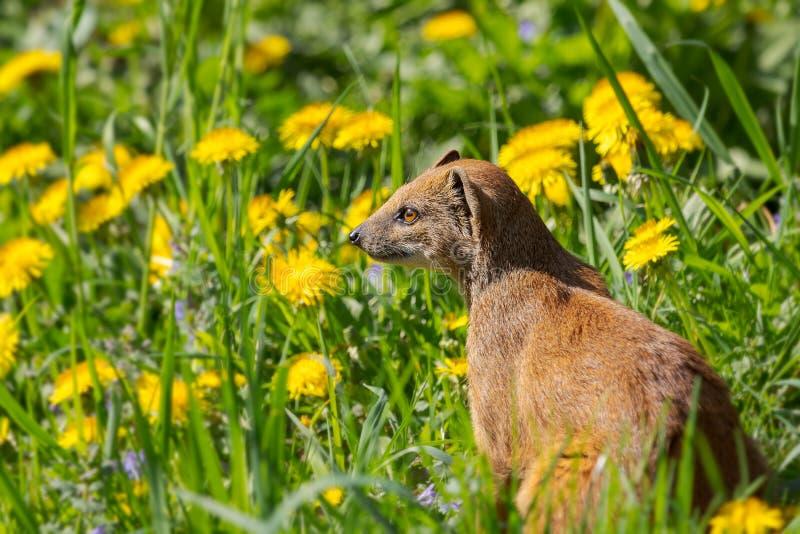 Wachsames Mungo ln ein Grün archiviert mit gelben Blumen lizenzfreies stockfoto