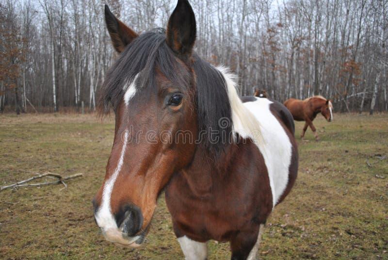 Wachsames Pferd auf Bauernhof lizenzfreies stockfoto