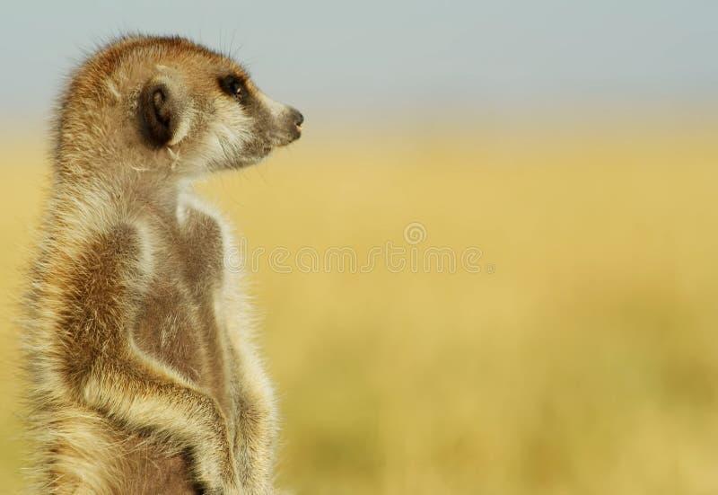 Wachsames suricate oder meerkat Suricata suricatta - SnÃmek lizenzfreies stockbild
