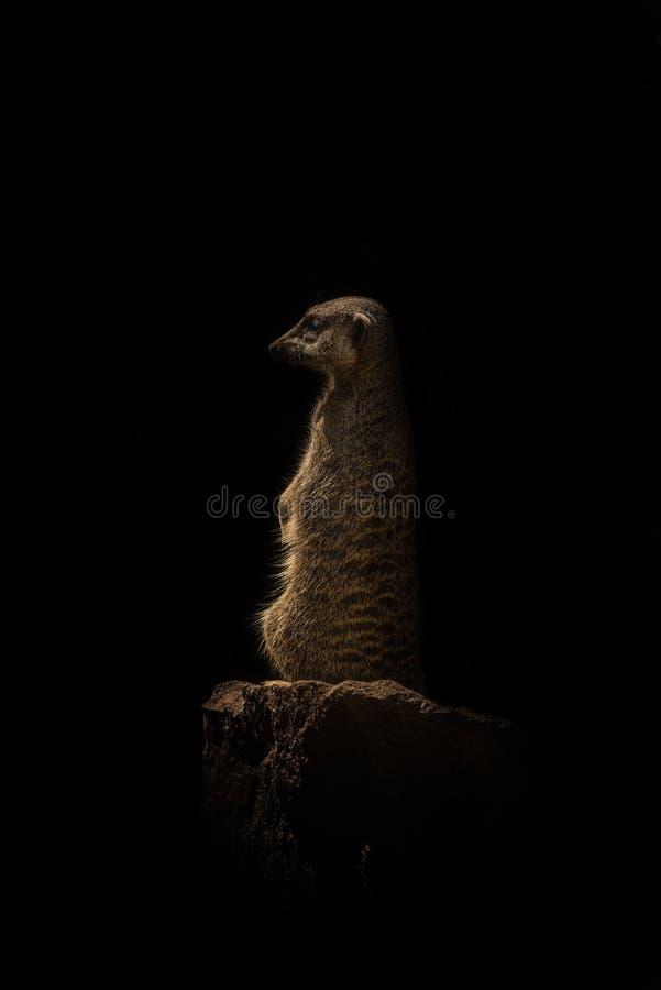 Wachsames und neugieriges suricate, das am Schutz durch Sonnenaufgang, Isolator steht stockbilder
