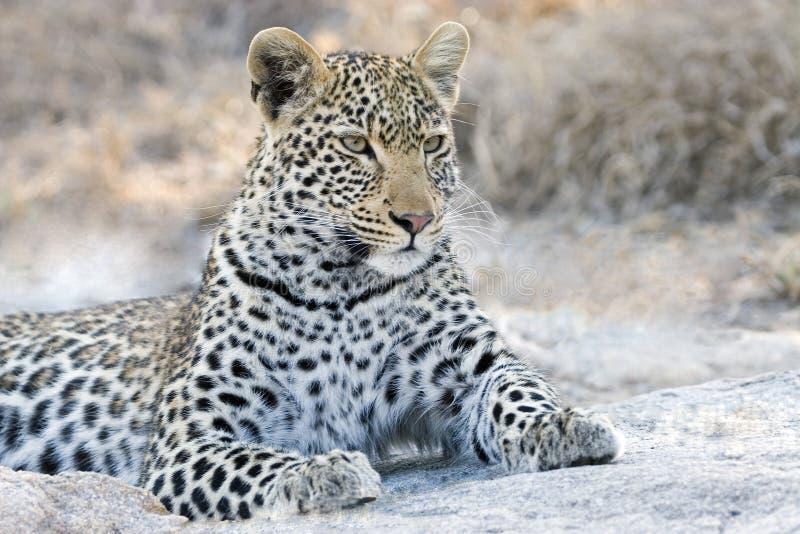 Wachsamkeit eines Leoparden im Nationalpark Kruger stockfotos