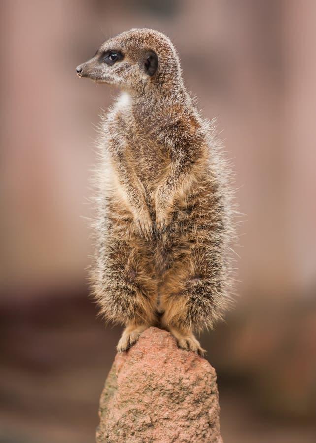 Wachsamkeit: wachsames meercat auf dem Hügel stockbild