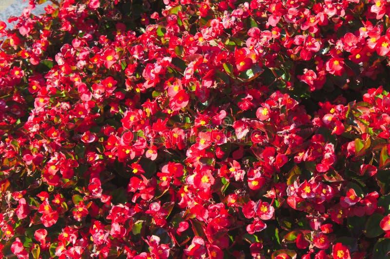Wachsbegonie im Garten lizenzfreie stockfotos