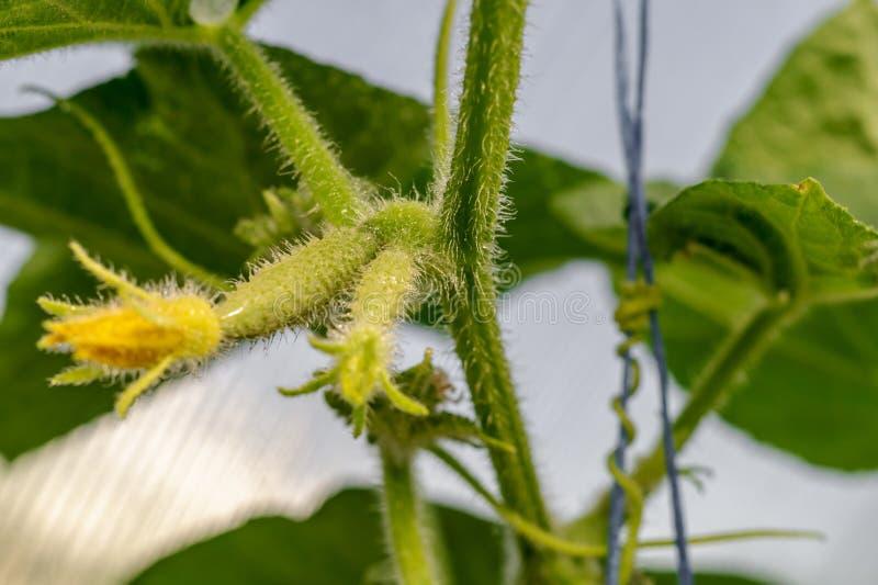 Wachsen und blühen saftige und frische Gurke im Gewächshaus Konzeption der Gartenarbeit, der organischen gesunden, eco Nahrung un lizenzfreie stockbilder