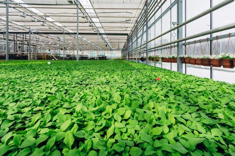 Wachsen von Sämlingen der Petunie und anderer Zierpflanzen in der Kindertagesstätte im modernen Wasserkulturgewächshaus stockfotografie