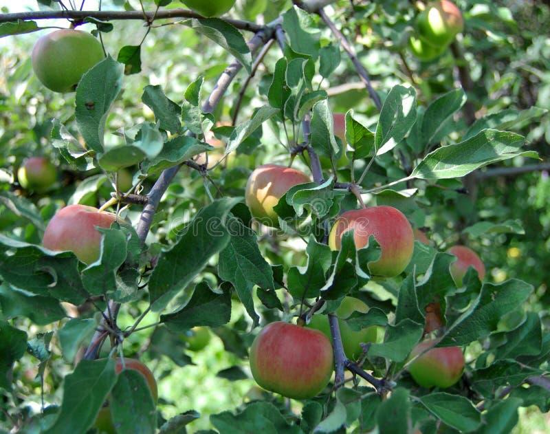 Wachsende Äpfel auf dem Apfelbaum Zweig lizenzfreie stockbilder