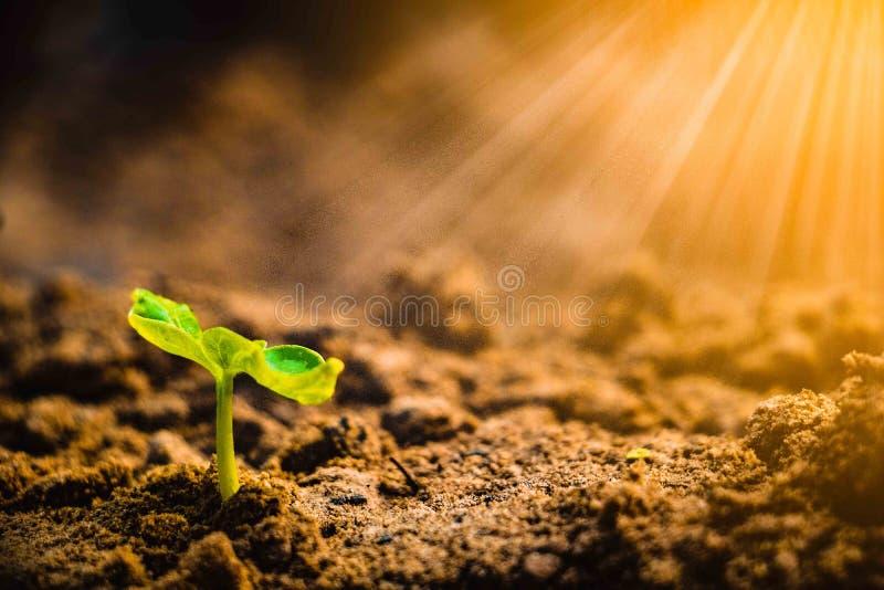 Wachsende Anlage Jungpflanze morgens und Licht auf Boden Hintergrund stockfotos