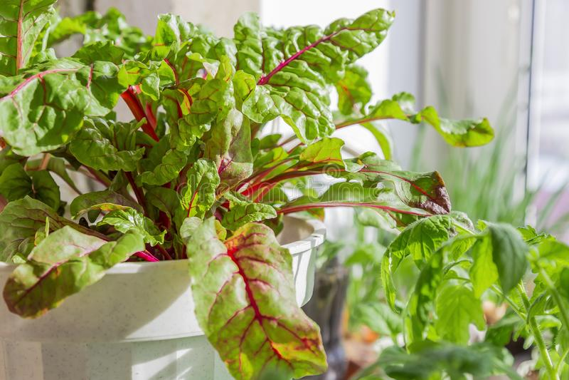 Wachsende Anlagen Vegetarische Nahrung, rohe Nahrungsmittel, Di?t Mangoldgem?se l?sst das Wachsen in einem Topf auf dem Fensterbr stockbilder