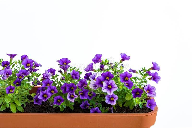 Wachsende Blumen im Pflanzer in einem Gemüsegarten Blumentopf mit dem Blühen von Million Glockenanlage stockfotos