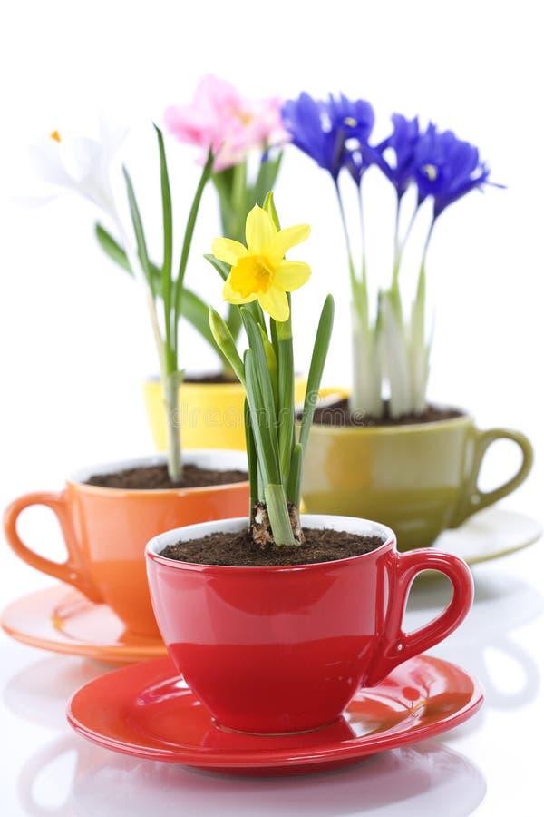 Wachsende Frühlingsblumen in einem Cup stockfoto