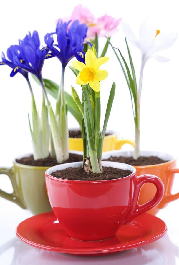 Wachsende Frühlingsblumen in einem Cup stockfotos