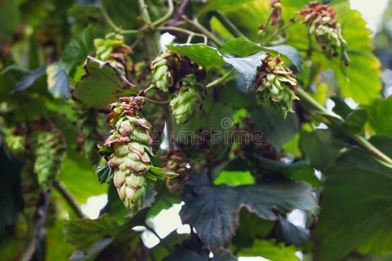 Wachsende grüne Hopfen auf einem Bauernhof für Brauenbier stockfotografie