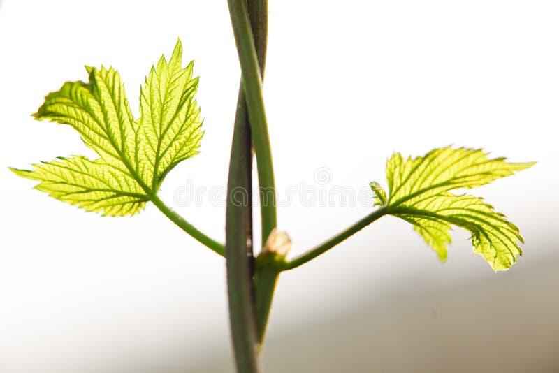 Wachsende Hopfen führen von den Blättern des Hopfens einzeln auf Feld von Jungen steigt Slowakei während des Frühlinges ein lizenzfreies stockbild