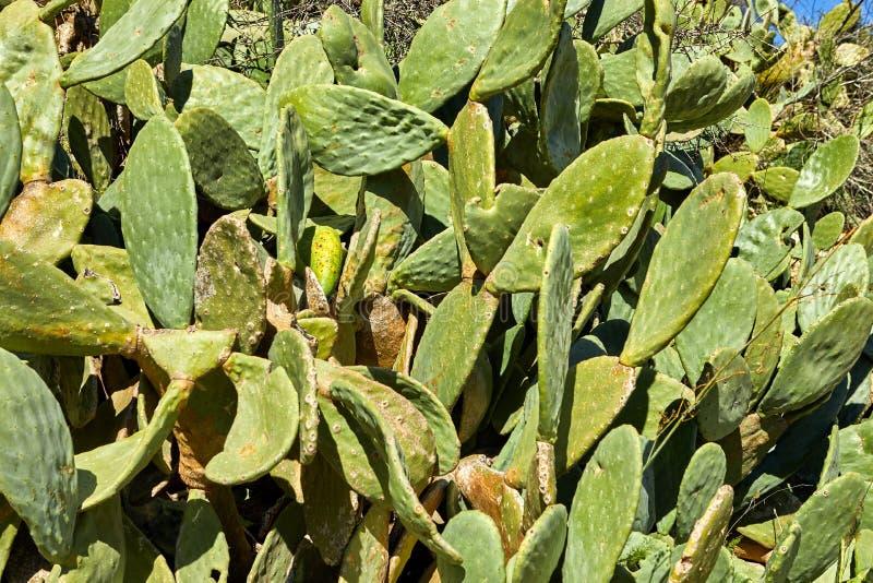 Wachsende Kaktushintergrundbeschaffenheit stockfoto