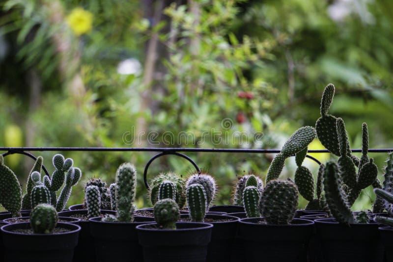 Wachsende Kaktuspflanze auf Veranda stockbilder