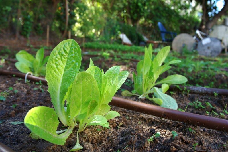 Wachsende Kopfsalatanlagen in einem Hausgarten lizenzfreies stockbild