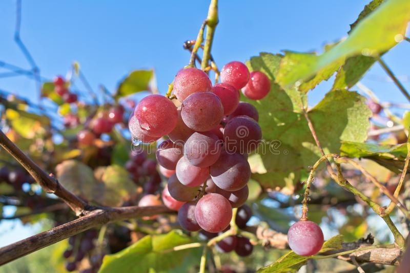 Wachsende Niederlassungen von roten Weinreben Schließen Sie herauf Ansicht der frischen roten Traube Natürlicher Weinstock stockbild