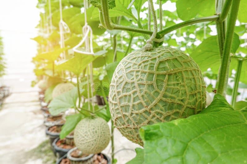 Wachsende Reihe der Melonen- oder Kantalupenfrüchte japanische BetriebsBaum-Gartenbauernhof des Gewächshauses im organischen stockfotos