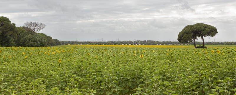 Wachsende Sonnenblumen lizenzfreies stockbild