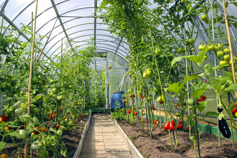 Wachsende Tomaten im Gewächshaus gemacht vom Polycarbonat stockfotos