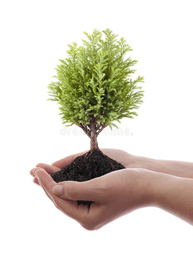 Wachsender grüner Baum in den Händen stockbild