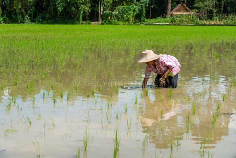 Wachsender Reis des älteren Frauenlandwirts auf dem Gebiet stockbilder