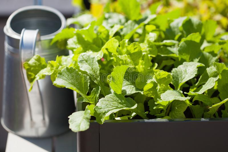 Wachsender Rettich und Salat im Behälter auf Balkon Gemüse-Gard stockbild