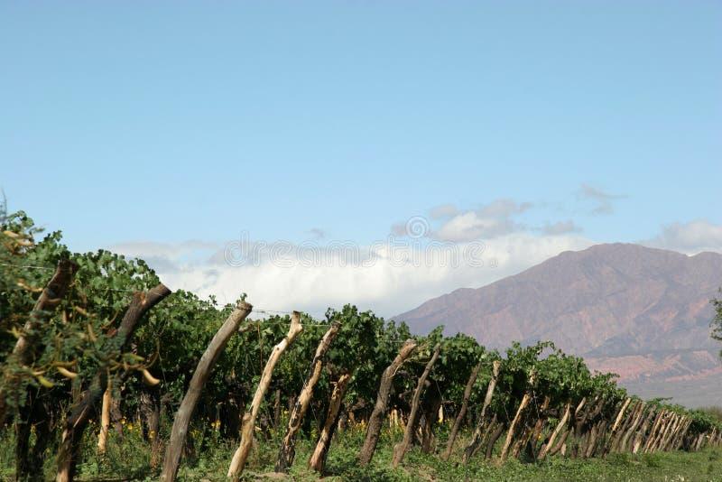 Wachsender Wein stockbilder
