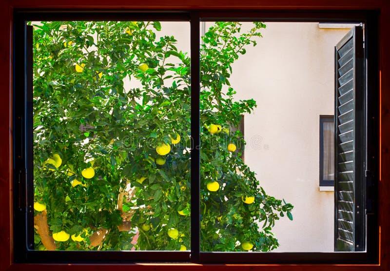 Wachsendes äußeres Fenster des Pampelmusenbaums stockbild