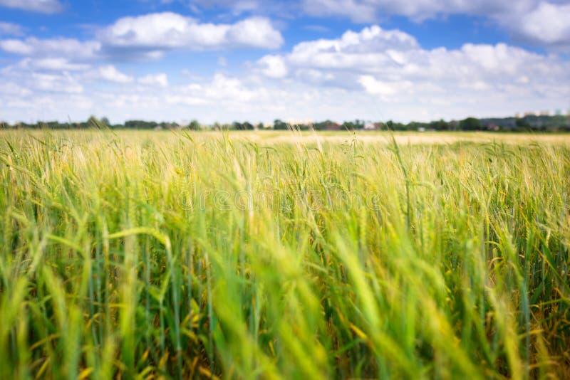Wachsendes grünes Feld des Weizens auf der Wiese stockfotografie