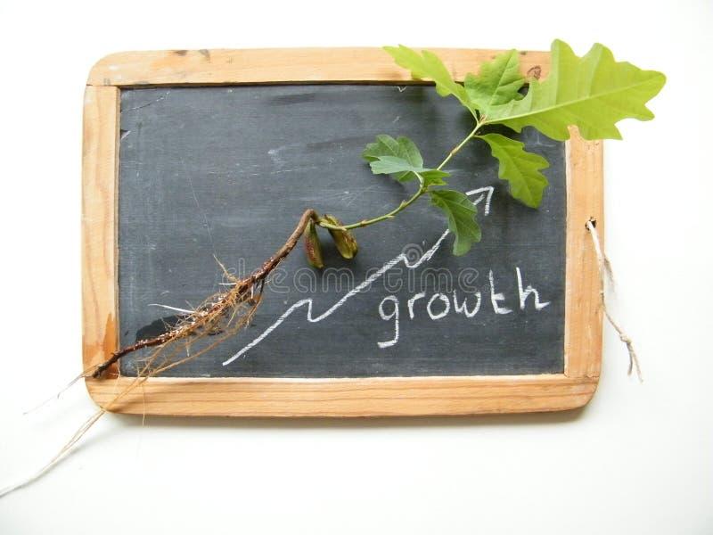 Wachstum des Eichensämlings lizenzfreie stockfotografie