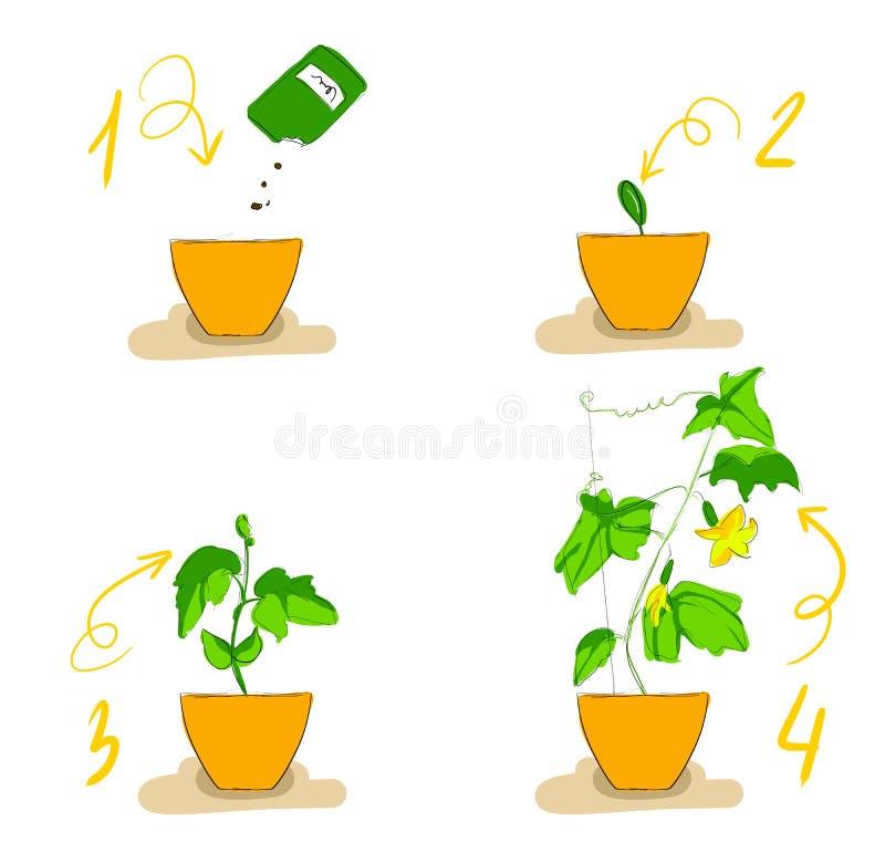 Wachstumsstufen von Gurkensämlingen stock abbildung