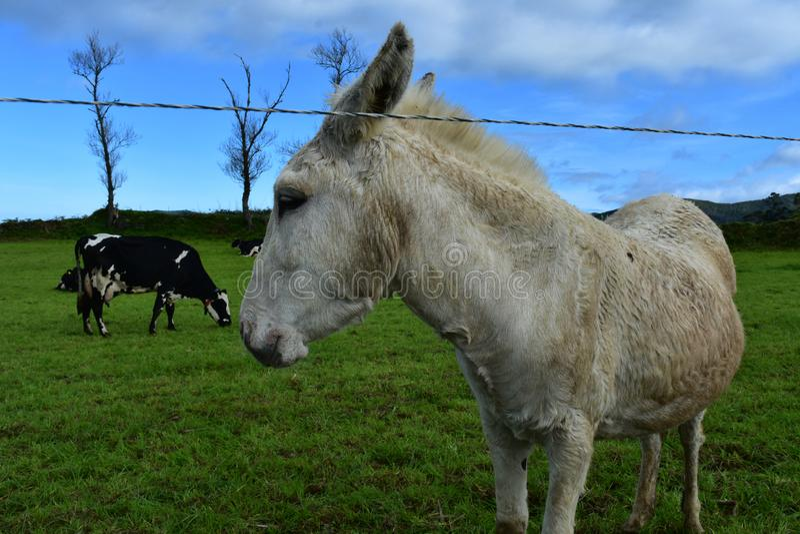Wacht Donkey Out aan Weiland met Koeien op een Gebied stock afbeeldingen