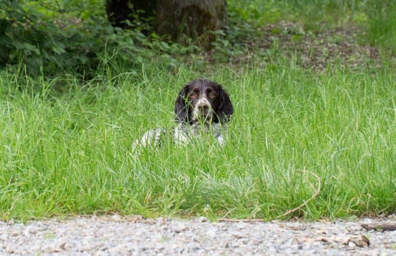 Wachtel alemão do cão do spaniel imagem de stock royalty free