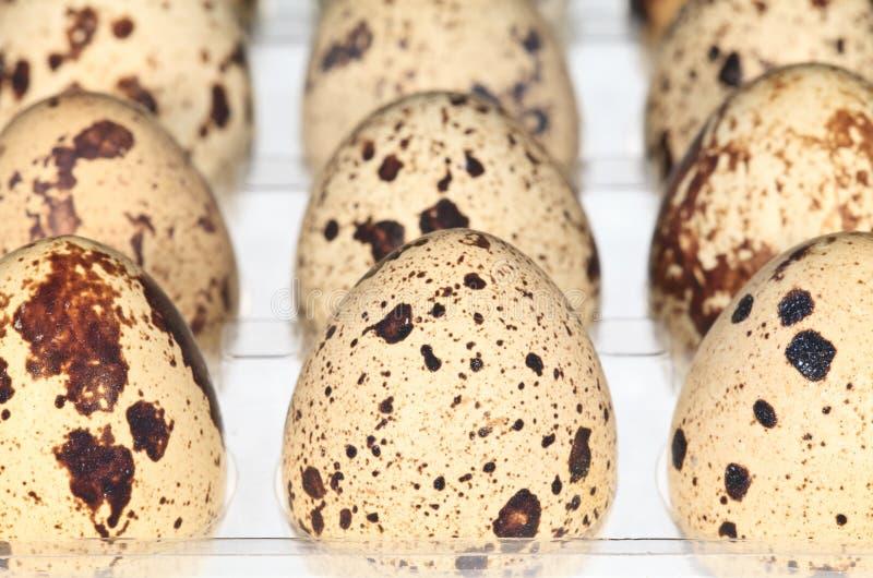 Wachtel-Eier lizenzfreie stockfotos
