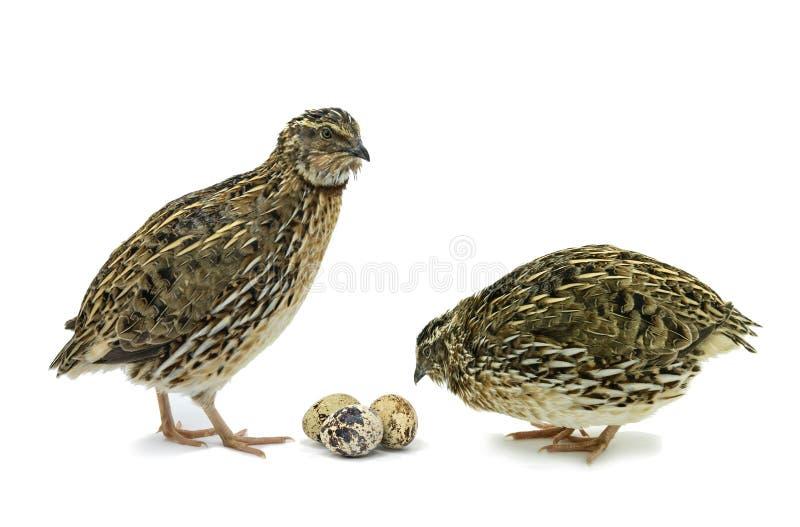 Wachteln mit den Eiern lokalisiert auf Weiß lizenzfreies stockfoto