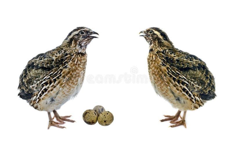 Wachteln und ihre Eier lizenzfreies stockfoto