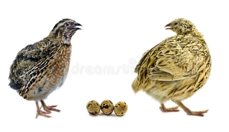 Wachteln und ihre Eier stockfotografie