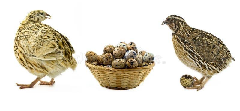 Wachteln und Korb mit den Eiern getrennt worden auf Weiß lizenzfreie stockbilder
