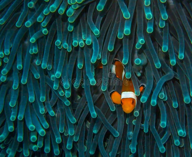 Wachtende Clown Fish stock afbeeldingen