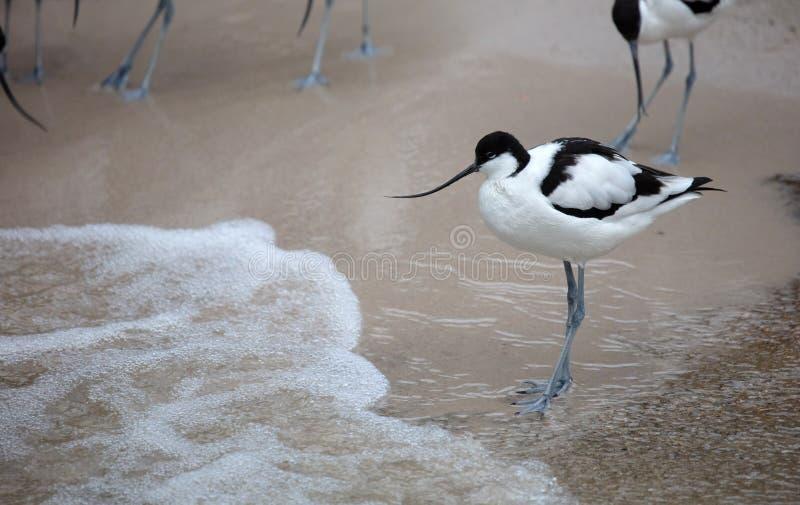 Wader: blanco y negro Coliseo en la playa foto de archivo libre de regalías