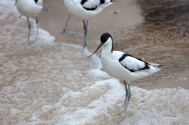 Wader: blanco y negro Coliseo en la playa fotografía de archivo libre de regalías