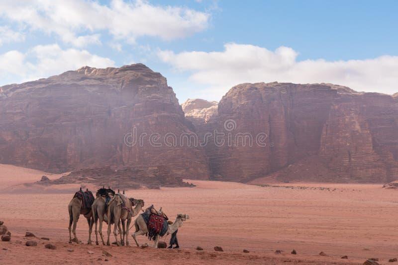 Wadi Rum ökenlandskap i Jordanien med kamel som kyler i morgonen royaltyfria foton
