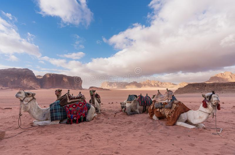 Wadi Rum desert landscape in Jordan with camels chilling in the morning stock photography